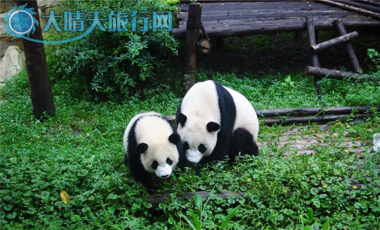 壁纸 大熊猫 动物 759_460