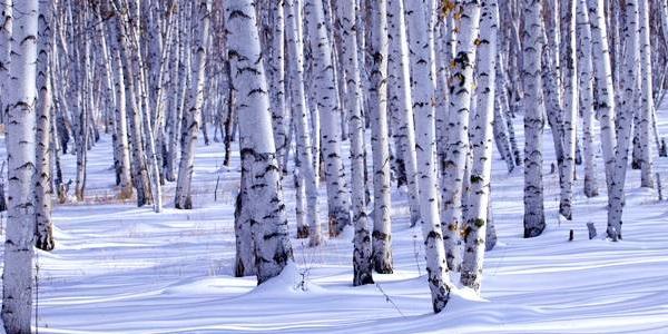 额尔古纳---经白桦林景区(看冰雪世界卫士般的白桦树),在白桦林打雪仗